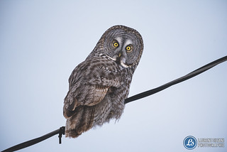 Great grey owl / Chouette Lapone - Clermont (Charlevoix)