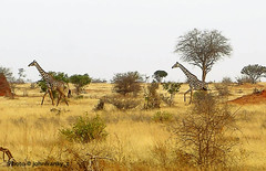 Safari- Tsavo National Park-Kenya (2) (johnfranky_t) Tags: savana cespugli bush johnfranky t alberi trees