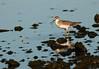 Lesser knot (Maureen Pierre) Tags: lesserknot redknot shorebird seabird migrate estuary