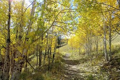 Paths of Gold (Patricia Henschen) Tags: alpineloopscenicbyway alpineloop scenicbyway lakecity colorado riograndenationalforest fallcolors autumn leafpeeping aspen scenichistoric byway hinsdale county pathscaminhos trees