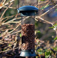 Female House Sparrow (DaleKD93) Tags: sparrow nature wildlife birds wales cymru aberystwyth ceredigion garden nikon d3300 uk winter spring rspb passerdomesticus passer domesticus