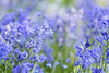 Angels Get Their Wings (Synapped) Tags: bluebell flower blue lavender