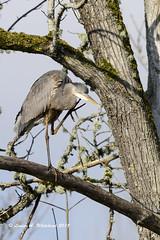 021118 HeroninCottonwood 4x (wildcatlou) Tags: winter nature bird greatblueheron heron wildlife tree nisquallynationalwildliferefuge