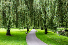 Weeping Willows (peterreading) Tags: nature natural tree mothernature earth peace tranquil tranquility calm willow trees path park parkland walk walking track maastricht netherlands nederland green greenery boom bomen