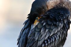 Cormorant. (Chris Kilpatrick) Tags: chris canon canon7dmk2 outdoor wildlife nature animal bird cormorant february springwatch ramsey isleofman mooraghpark sigma150mm600mm