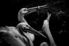 American White Pelicans. Homosassa Springs. Florida (PickledMonkeyStudio) Tags: pelican bird water florida homosassa bw blackandwhite monochrome monotone