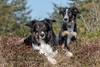 Yatzy & Frisbee (Flemming Andersen) Tags: pet nature dog bordercollie yatzy frisbee dune du pilat outdoor animal dunedupilat hurupthy northdenmarkregion denmark dk