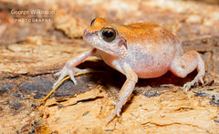 Frog (George Wilkinson) Tags: malawi anura vwaza marsh nature reserve canon 7d 60mm flash wildlife africa