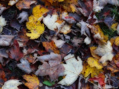 Autumn leaves (Elanor82) Tags: canon eos 5d mark3 mrk3 mk3 2470 usm ii autumn leaf leaves colours colors herbst autunno foglie colori red rosso yellow natura nature season stagione orton effettoorton sfocato softfocus