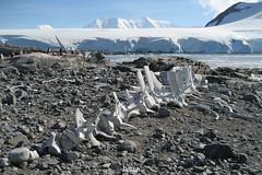 °Walskelett (J.Legov) Tags: wiencke island antarktis antarctica eis ice gletscher meer berge jlegov