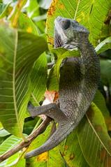 Madagascar-3014-_DSC2592 (beppevig) Tags: madagascar africa animali animals wild chameleon camaleonte