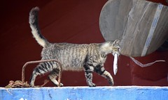 Essaouira, Morocco (james.mason01) Tags: morocco cat fish travel blue red