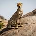 Tanzanian Cheetah on a Rock
