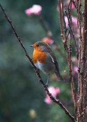 Rainy Robin (Treflyn) Tags: back garden cold wet rain robin bird soggy saturday morning earley reading berkshire uk