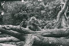 _G_A_Z_E_ (Juni Safont) Tags: blackandwhite bw monochrome gorilla bronxzoo thebronx nyc newyorkcity zoo