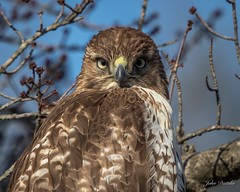 Redtail hawk photo shoot (flintframer) Tags: redtail muscatatuck national wildlife refuge indiana america usa nature wow dattilo raptors perched hunting canon eos 7d markii ef600mm 14x