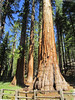 The Bachelor and Three Graces (big_jeff_leo) Tags: usa yosemite tree nature redwood california nationalpark sequoia tall giant light forest wood glade