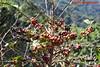 Café, Coffee tree, the Gold of El Salvador (Sebastiao P Nunes) Tags: café coffee cafetal cafezal coffeetree harvest colheita cosecha cafédequalidade comasagua elsalvador canoneos70d spnunes nunes snunes spereiranunes