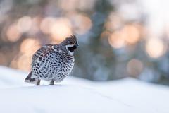Hazel Grouse (Ville Airo) Tags: hazel grouse pyy suomi finland winter february villeairo wildlife nature bird bokeh
