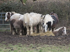 UK - Hertfordshire - Near Bushey - Attenborough's Fields - Ponies (JulesFoto) Tags: uk england hertfordshire clog centrallondonoutdoorgroup bushey attenboroughsfields ponies