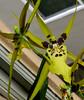 Brassidium Gilden Urchin 'Ontario' hybrid orchid (nolehace) Tags: brassidium gilden urchin ontario hybrid orchid 1217 fragrant fall nolehace sanfrancisco fz1000 flower bloom plant cultivar