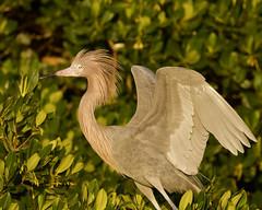 Reddish Egret (dbadair) Tags: outdoor reddish egret seaside shore sea sky water nature wildlife 7dm2 ocean canon florida bird
