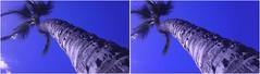 Palm II (turbguy - pro) Tags: 3d crosseye stereo evo3d