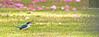 Sacred Kingfisher 71 (Black Stallion Photography) Tags: sacred kingfisher bird wildlife newzealand nzbirds ground green foliage spring kotare white feathers worm meal blue black stallion photography igallopfree