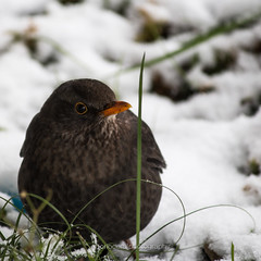 Merla (Vinh To 1938) Tags: milan snow milano italia merlo merla bird neve italy canon