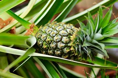 Pineapple on the tree (ole_G) Tags: pineapple lymanestate waltham