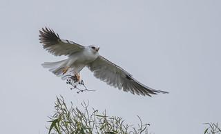 Kite with a prey