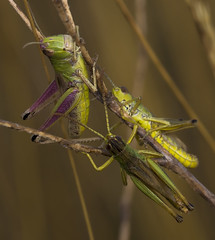 I'll eat more! (lkiraly72) Tags: grasshopper funny grass eating