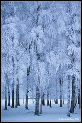 Frosty Birches (mmoborg) Tags: mmoborg frost snow trees birch winter