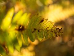 Late summer glow (H - D - O) Tags: bokeh herbst sonnenlicht autumn sunlight farn fern
