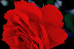 Red? (time_anchor) Tags: roses redroses ornamentalhorticulture bellesfleurs rosas rosasrojas red redflowers vermillion scarlet scarletflowers