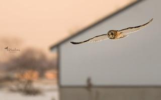 Short Eared Owls on the far