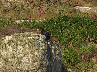 Pair of choughs on granite crag