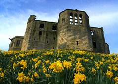 Warkworth (WISEBUYS21) Tags: warkworth castle daffodils 24th march 24032017 flowers blue sky yellow ruin percyfamily percy hillock northumberland northumbria coquet river ruins old english heritage grass green flower town village wisebuys21