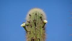 132 November;  Kandelaber-Kaktus blüht - now they're in bloom (roving_spirits) Tags: chile atacama atacamawüste atacamadesert desiertodeatacama désertcôtier küstenwüste desiertocostero coastaldesert