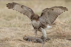 Dat's a big animal... (Earl Reinink) Tags: wings feild bird raptor predator hawk redtailedhawk earl reinink earlreinink nature riiaeuadza