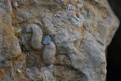 Fòssils a La Granada (esta_ahi) Tags: lagranada penedès barcelona spain españa испания fòssil fósil