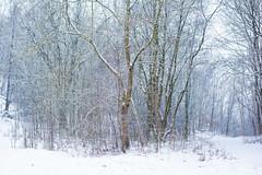 Grassington Woods (gerainte1) Tags: winter woods snow trees colour grassington yorkshire