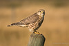 Merlin (Turk Images) Tags: falcocolumbarius merlin alberta birds falconidae falcons merl fall migration prairie raptor