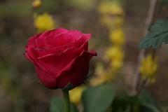 180124010 (murbozero) Tags: murbo japan flower