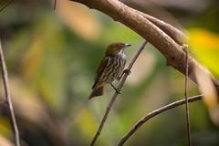 Ampang180204_689 (kamaruld) Tags: yellowbreastedflowerpecker flowerpecker bird birding tree branch leaf perching nikon nikkor 200500mm natural habitat nature