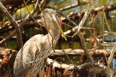 3S5X1740 Yawning Heron (Eileen Fonferko) Tags: bird animal greatblueheron nature wildlife