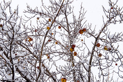 Frozen Apples Too Late to Pick (aaronrhawkins) Tags: apple orchard harvest snow storm winter tree branch red fruit late flake provo utah fall weather aaronhawkins