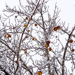 Frozen Apples Too Late to Pick thumbnail