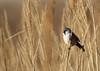 Panure à moustaches (Michel Idre - 7 millions de vues merci) Tags: oiseau bird aves gruissan aude panureàmoustaches
