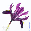 29/365 New Growth (JulieMeakins) Tags: 365the2018edition 3652018 day29365 29jan18 iris purple